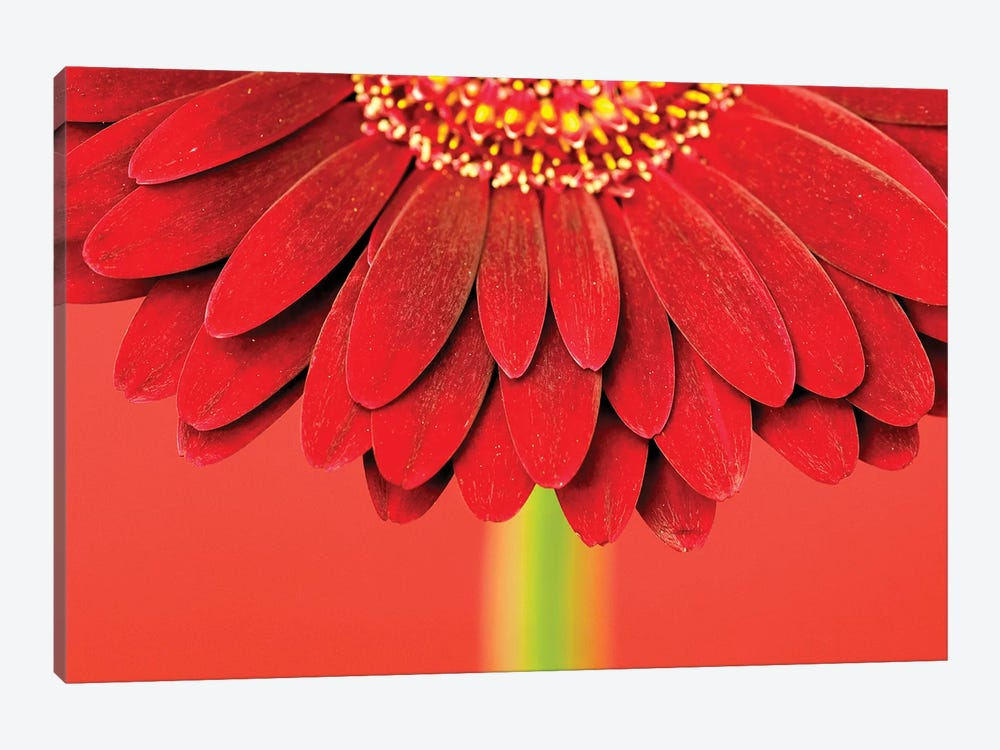 Red Gerbera On Red IV by Tom Quartermaine 1-piece Art Print
