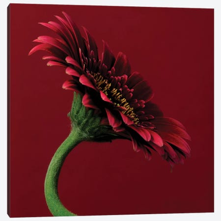 Red Gerbera On Red V Canvas Print #TQU254} by Tom Quartermaine Art Print