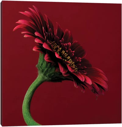 Red Gerbera On Red V Canvas Art Print