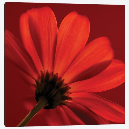 Red Gerbera On Red VIII Canvas Print #TQU255} by Tom Quartermaine Canvas Art Print