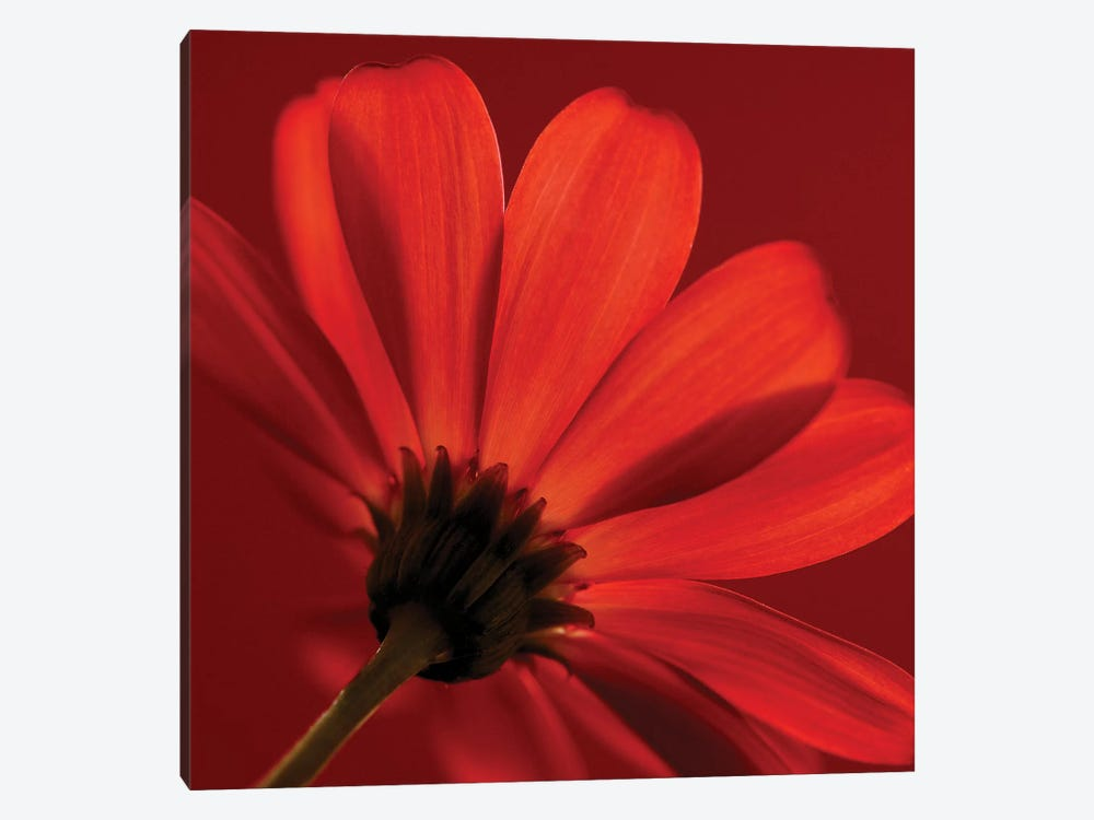 Red Gerbera On Red VIII by Tom Quartermaine 1-piece Canvas Print