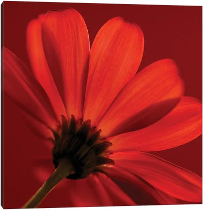 Red Gerbera On Red VIII Canvas Art Print