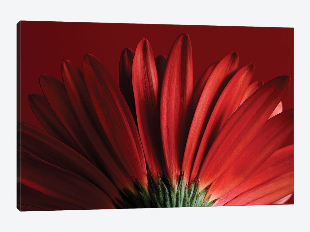 Red Gerbera On Red IX by Tom Quartermaine 1-piece Canvas Wall Art