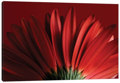 Red Gerbera On Red IX Canvas Art Print