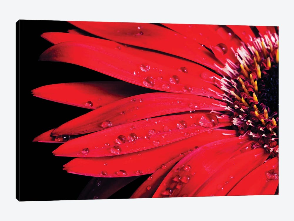 Red Gerbera With Waterdrops III by Tom Quartermaine 1-piece Canvas Art