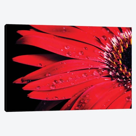 Red Gerbera With Waterdrops III Canvas Print #TQU258} by Tom Quartermaine Canvas Art