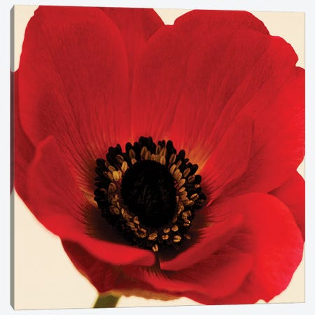 Red Poppy I Canvas Print #TQU261} by Tom Quartermaine Canvas Art Print