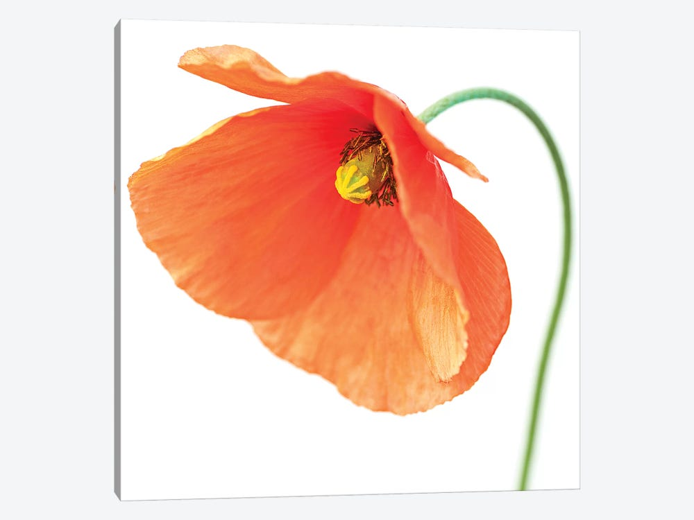 Red Poppy On White I by Tom Quartermaine 1-piece Art Print