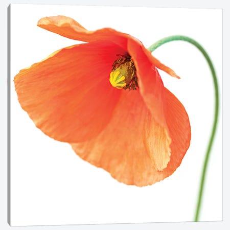Red Poppy On White I Canvas Print #TQU262} by Tom Quartermaine Art Print
