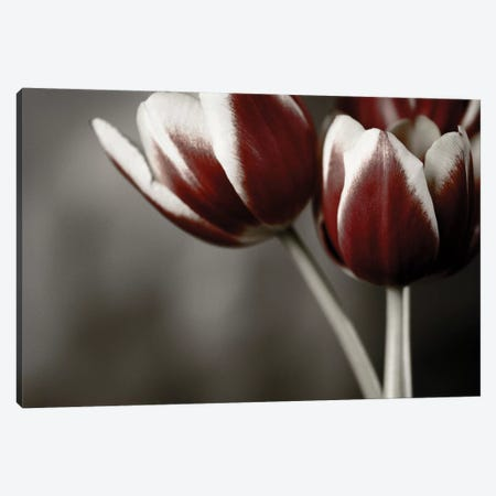 Red Tulips On Grey I Canvas Print #TQU266} by Tom Quartermaine Canvas Artwork