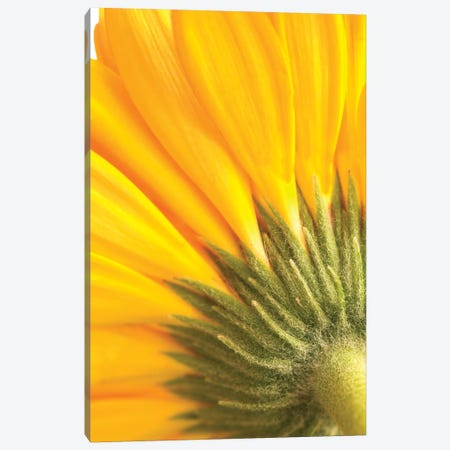 Reverse Of Yellow Flower Canvas Print #TQU270} by Tom Quartermaine Canvas Wall Art