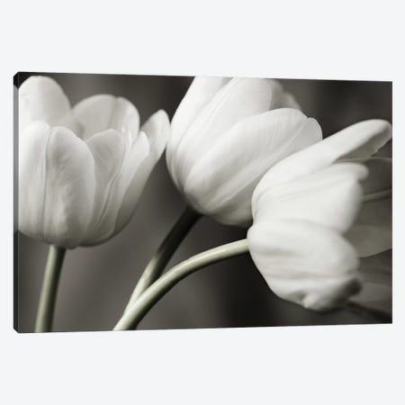 Row Of B&W Tulips Canvas Print #TQU276} by Tom Quartermaine Canvas Art Print