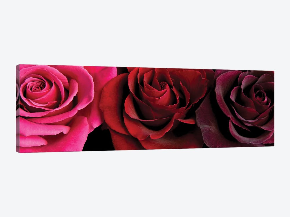 Row Of Roses On Black by Tom Quartermaine 1-piece Canvas Art Print