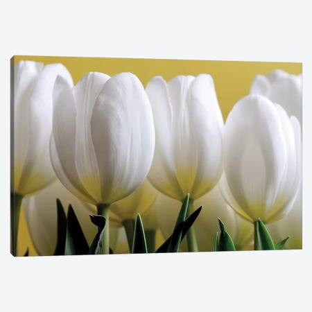 Row Of White Tulips On Yellow Canvas Print #TQU278} by Tom Quartermaine Canvas Wall Art