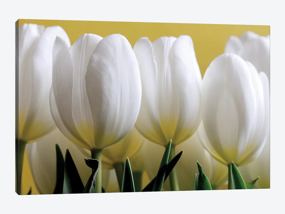 Row Of White Tulips On Yellow by Tom Quartermaine 1-piece Canvas Art