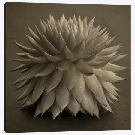 Sepia Cacti 3-Piece Canvas #TQU281} by Tom Quartermaine Canvas Print