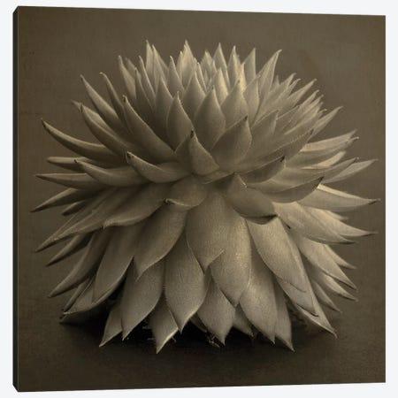 Sepia Cacti Canvas Print #TQU281} by Tom Quartermaine Canvas Print