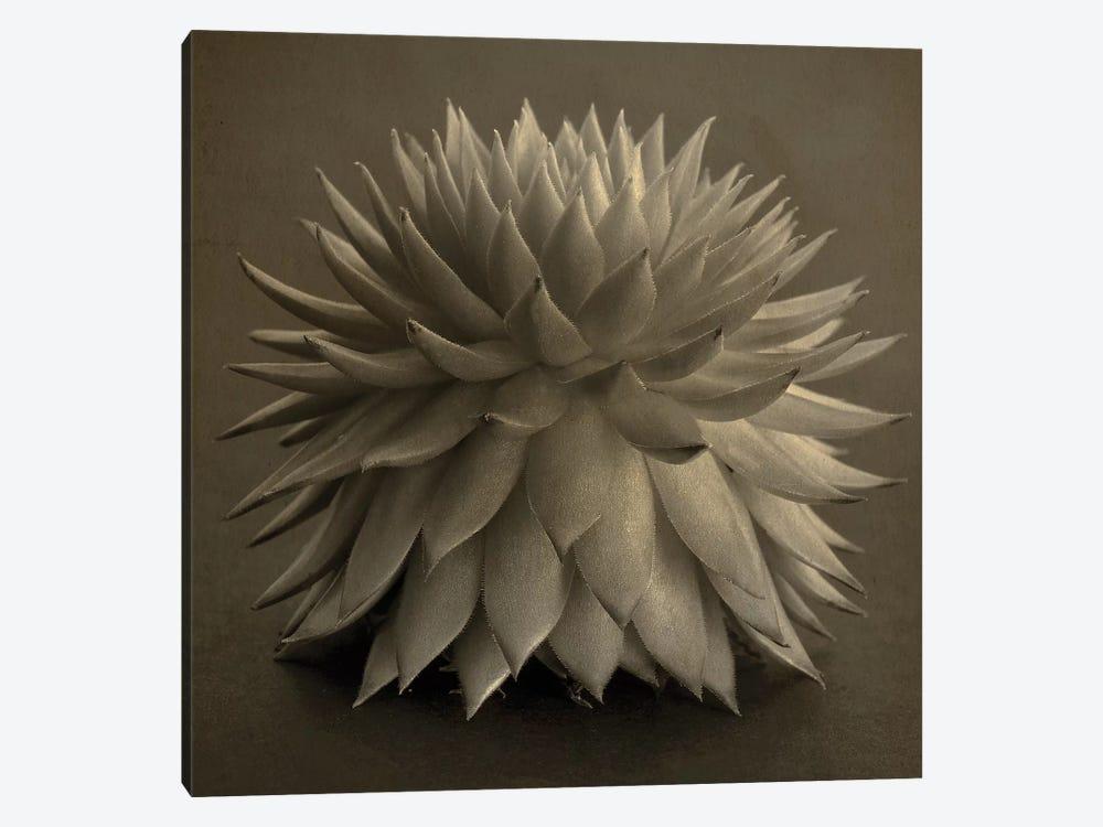 Sepia Cacti by Tom Quartermaine 1-piece Canvas Wall Art