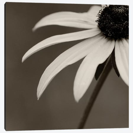 Sepia Flower On Sepia I 3-Piece Canvas #TQU283} by Tom Quartermaine Art Print