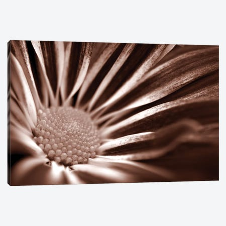 Sepia Flower Panoramic I Canvas Print #TQU285} by Tom Quartermaine Canvas Wall Art