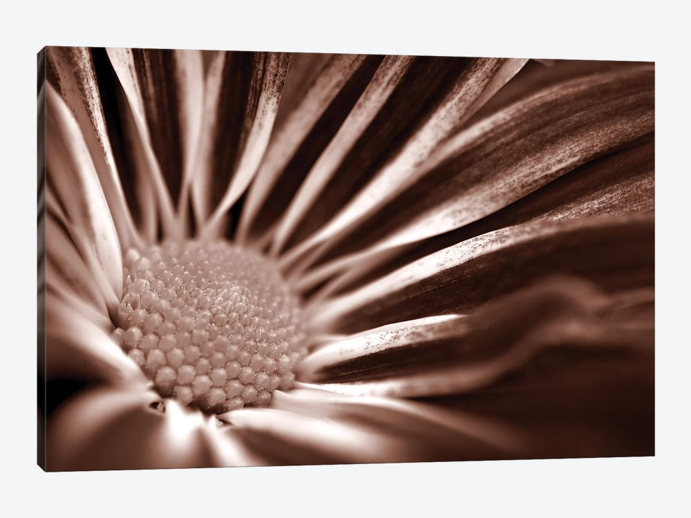 Sepia Flower Panoramic I by Tom Quartermaine 1-piece Canvas Artwork