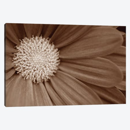 Sepia Flower Panoramic II 3-Piece Canvas #TQU286} by Tom Quartermaine Canvas Artwork