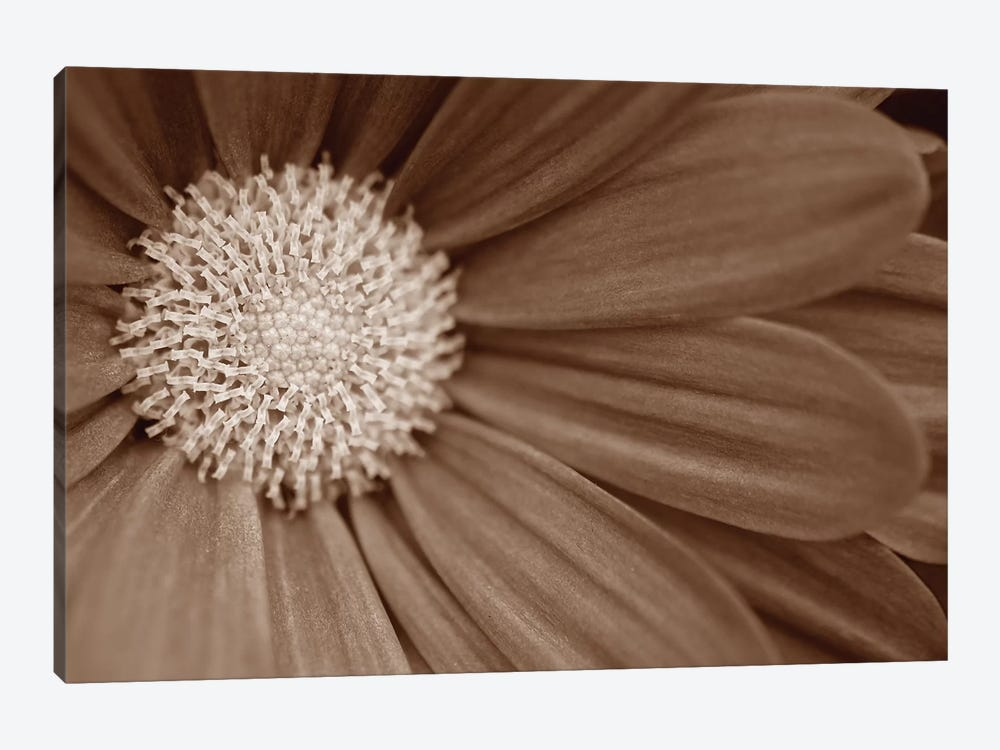 Sepia Flower Panoramic II by Tom Quartermaine 1-piece Art Print