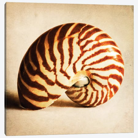 Antique Shell III Canvas Print #TQU28} by Tom Quartermaine Canvas Wall Art