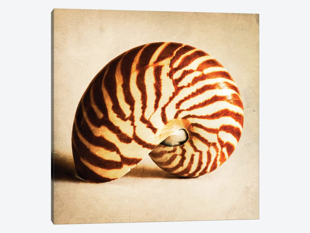 Antique Shell III by Tom Quartermaine 1-piece Canvas Print