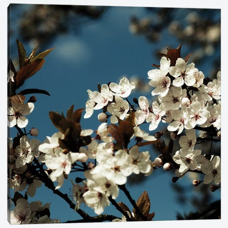 Spring Blossom On Tree IV Canvas Print #TQU299} by Tom Quartermaine Canvas Wall Art