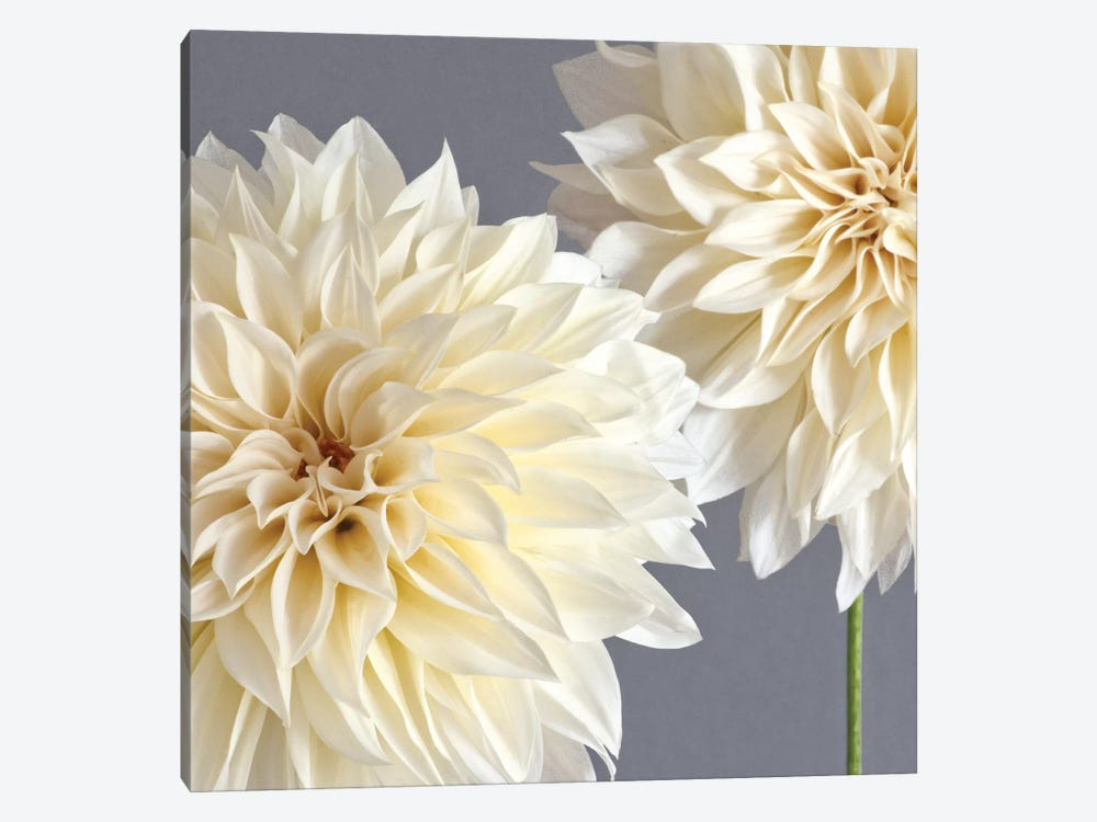 2 Cream Dahlias On Gray by Tom Quartermaine 1-piece Canvas Art