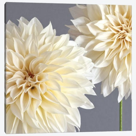 2 Cream Dahlias On Gray Canvas Print #TQU2} by Tom Quartermaine Canvas Wall Art