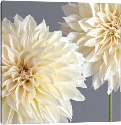 2 Cream Dahlias On Gray Canvas Art Print