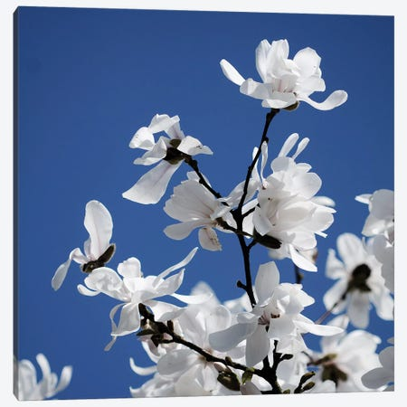 Spring Blossom On Tree VII Canvas Print #TQU302} by Tom Quartermaine Canvas Art