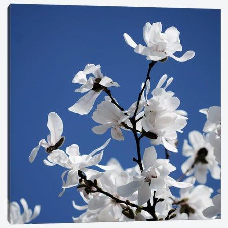 Spring Blossom On Tree VII Canvas Print #TQU302} by Tom Quartermaine Canvas Art