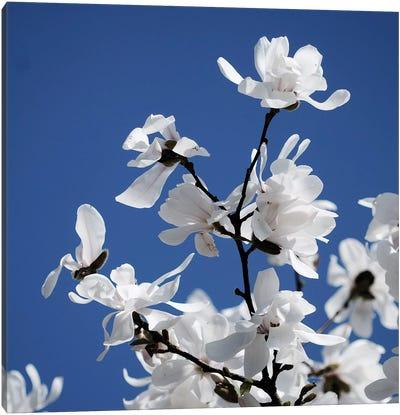 Spring Blossom On Tree VII Canvas Art Print