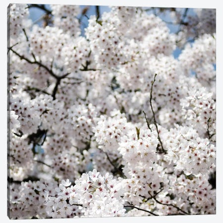Spring Blossom On Tree VIII Canvas Print #TQU303} by Tom Quartermaine Canvas Wall Art