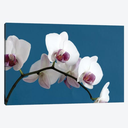 White Orchids On Blue 3-Piece Canvas #TQU306} by Tom Quartermaine Canvas Art Print