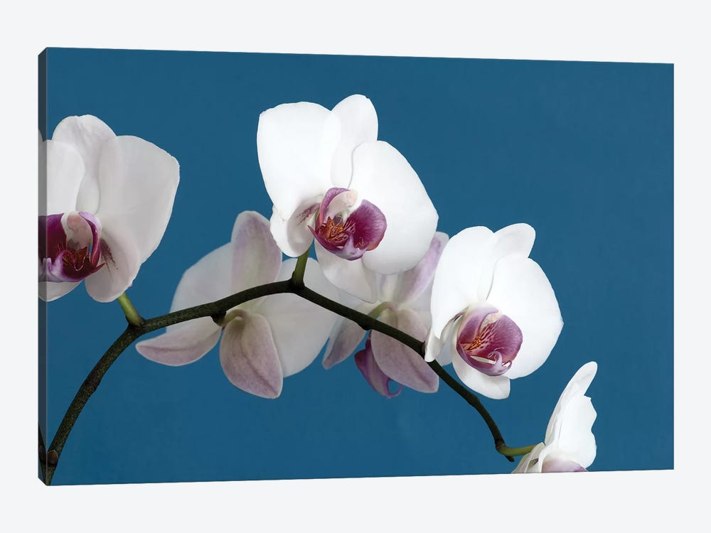 White Orchids On Blue by Tom Quartermaine 1-piece Canvas Art