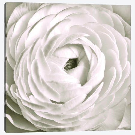White Ranunculus Close-Up Canvas Print #TQU308} by Tom Quartermaine Canvas Art