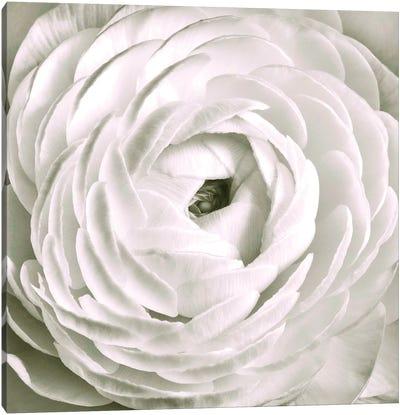 White Ranunculus Close-Up Canvas Art Print