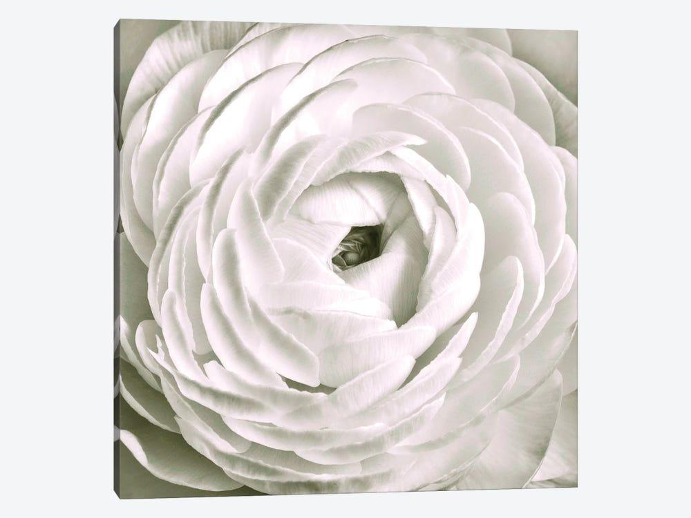 White Ranunculus Close-Up by Tom Quartermaine 1-piece Canvas Artwork