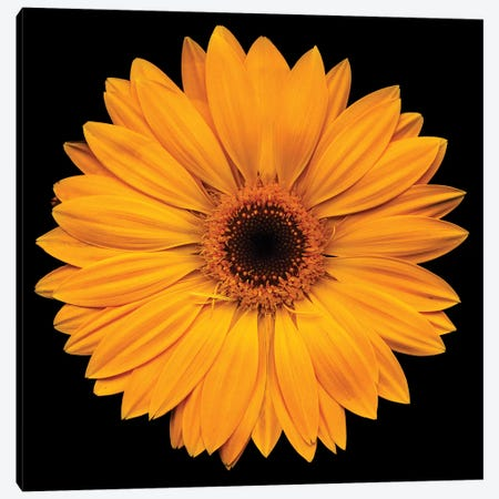 Yellow Flower On Black Canvas Print #TQU312} by Tom Quartermaine Art Print