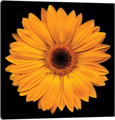 Yellow Flower On Black Canvas Art Print
