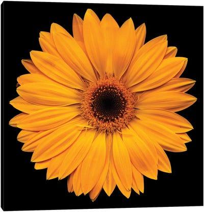 Yellow Flower On Black Canvas Art Print