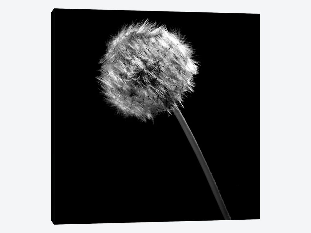 B&W Dandelion On Black I by Tom Quartermaine 1-piece Art Print