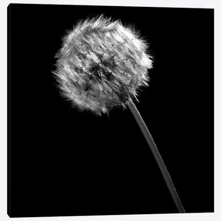 B&W Dandelion On Black I Canvas Print #TQU35} by Tom Quartermaine Canvas Artwork