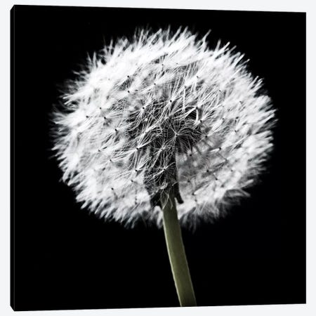 B&W Dandelion On Black II Canvas Print #TQU36} by Tom Quartermaine Canvas Art
