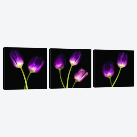 Purple Tulips On Black Triptych Canvas Print Set #TQU3HSET002} by Tom Quartermaine Canvas Art