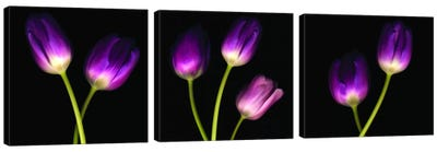 Purple Tulips On Black Triptych Canvas Art Print